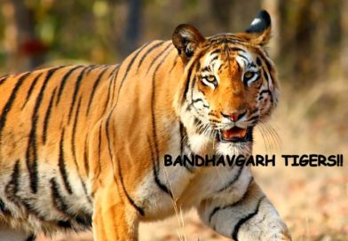 THE LAND OF TIGERS- BANDHAVGARH!